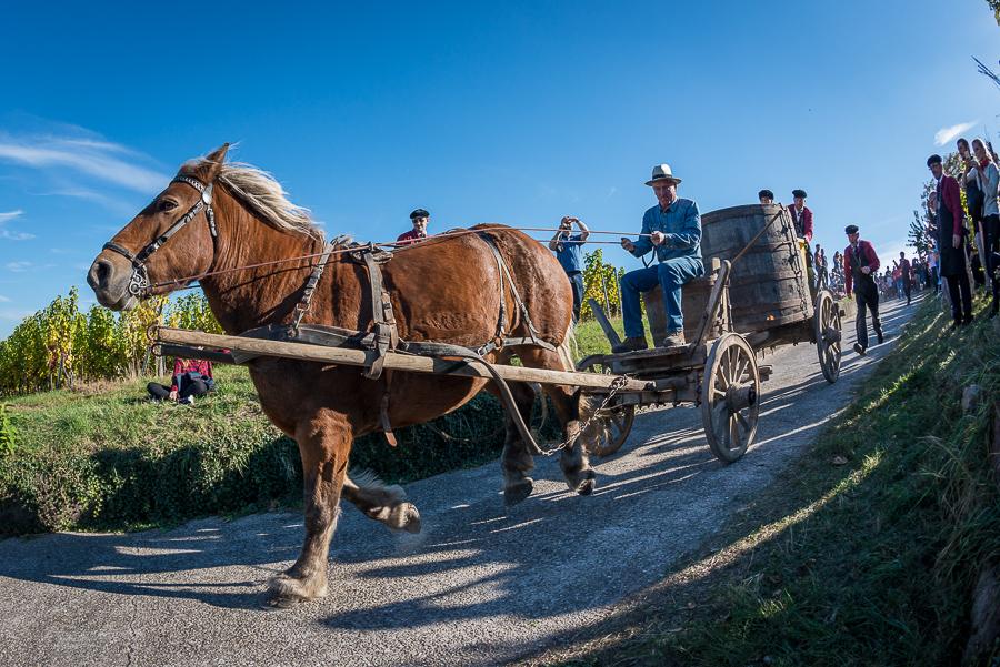 drinkalsace-vendanges-dambach-cheval-jpk-900x600-3